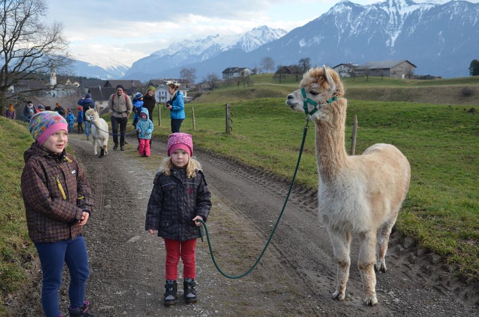 Satteins: Spaziergang mit dem Lama Cuzko und den Alpacas