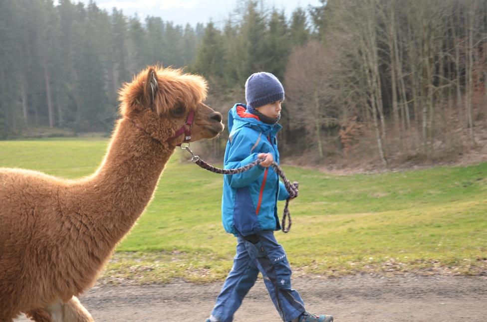 Spaziergang mit Lamas und Alpacas